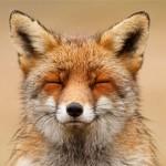 Zen Foxes: Wild Foxes Enjoying Themselves
