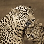wild-loving-cats-ev36