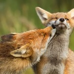 foxy-love-photographer-proves-that-foxes-are-extremely-loving-creatures-11-pics__880