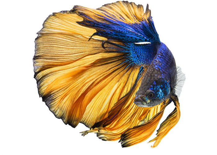 The Beauty And Colors Of Betta Fish