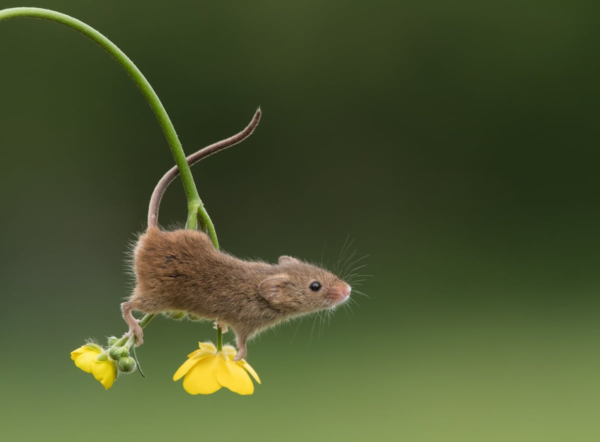 Adorable Photos of Tiny Harvest Mice Joyfully Playing in Nature